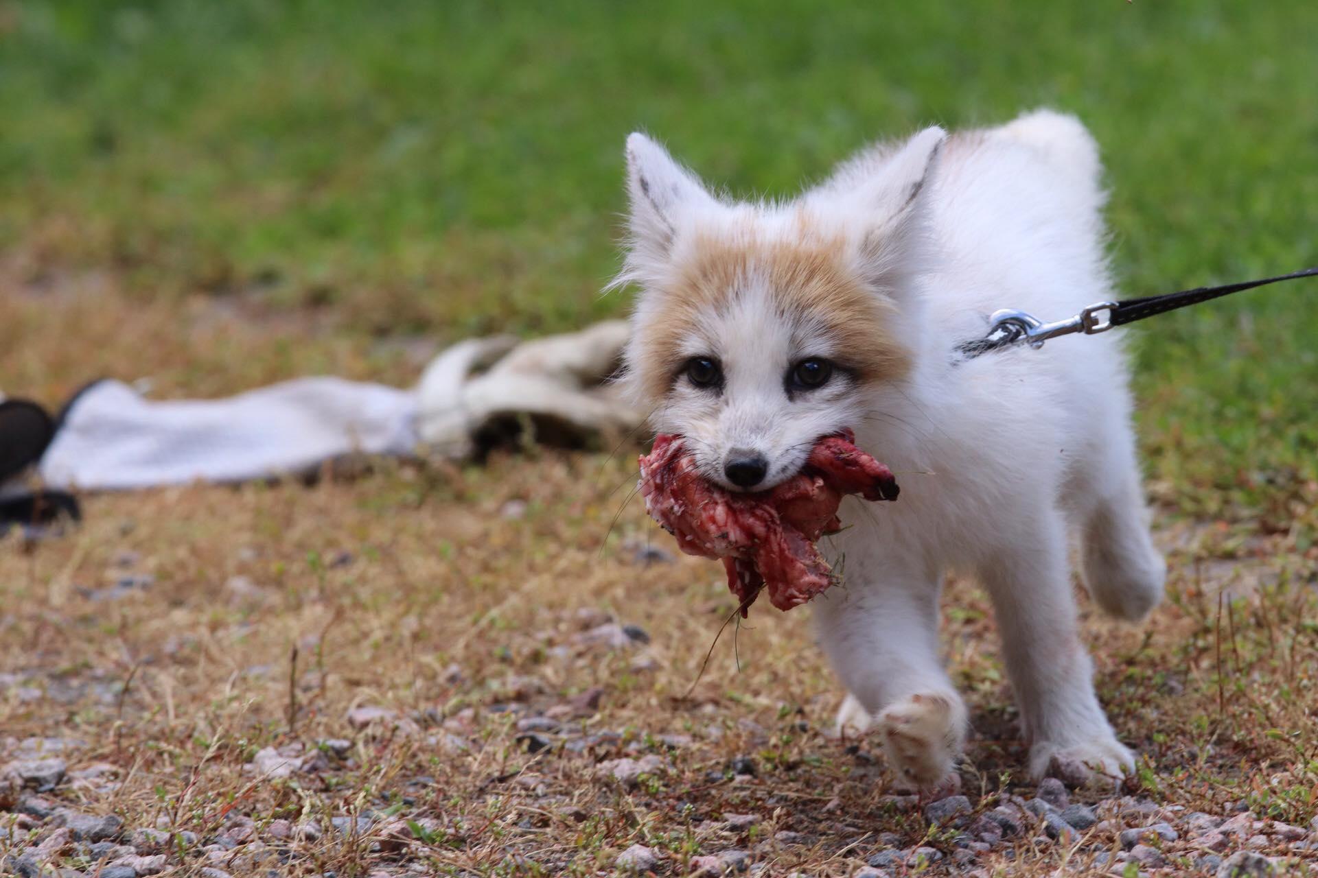 KoiraKikka_Eläimet_ketut_saalils
