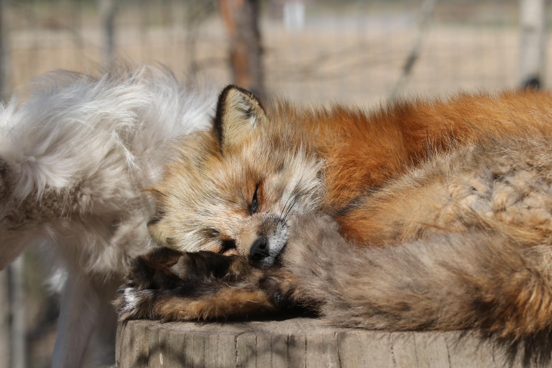 KoiraKikka_Eläimet_ketut_väsyttää